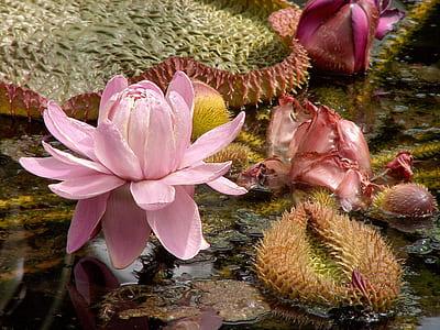 pink lotus flower in bloom at daytime