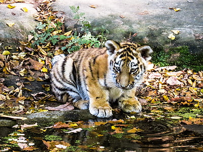 brown tiger on brown sand near body of water
