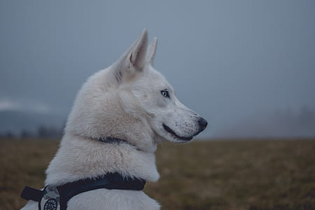 adult white Siberian husky
