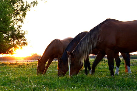 three brown horses eating grass during daytime