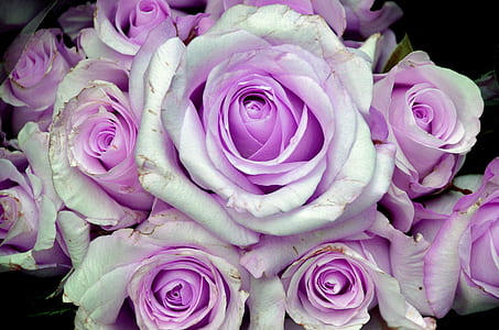 white and purple bouquet of roses