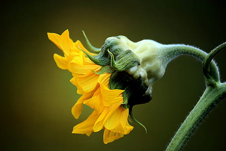 macro photo of sunflower during daytime