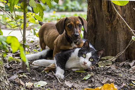 brown dachshund puppy playing with black and white cat beside tree