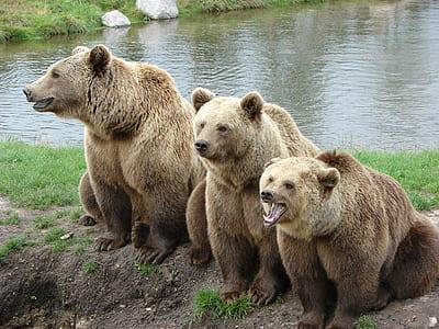 three brown bears at daytime