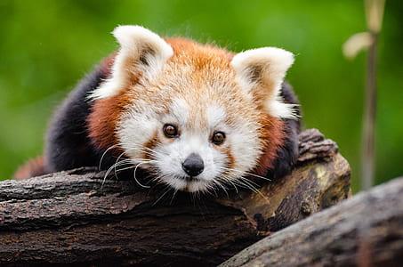 Red Panda on Brown Tree Trunk