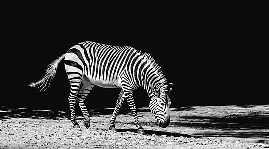 grey scale photo of zebra