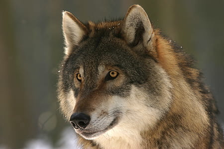 photo of gray and brown wolf