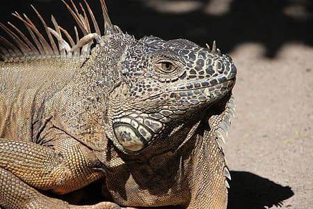 photo of brown reptile