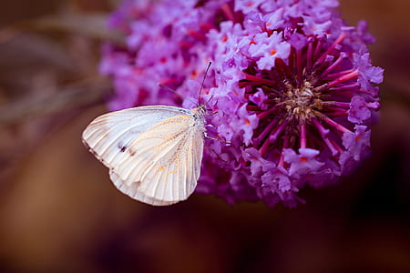 cabbage white butterfly on purple petaled flowers
