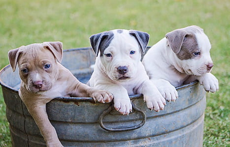 brown, white, and grey American pit bull terrier puppies