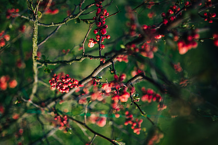 Red rowan on branches