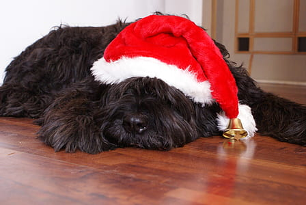 photo of long-coated black dog with red and white Christmas hat
