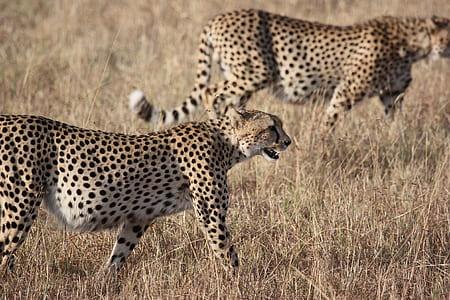 two cheetahs on ground