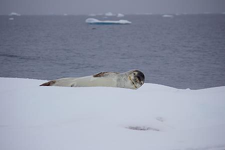 Gray Sea Lion