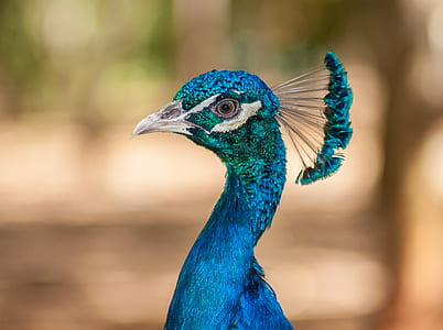 selective focus photography of blue peacock