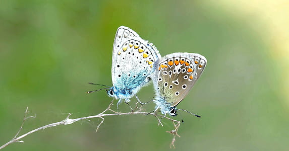two multicolored butterflies perching on branch