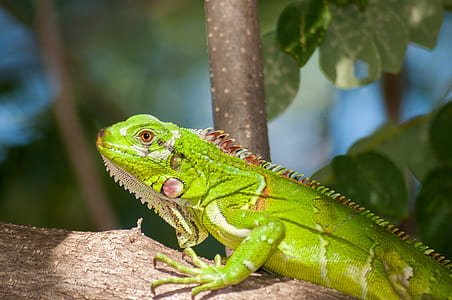 green bearded dragon on focus photo