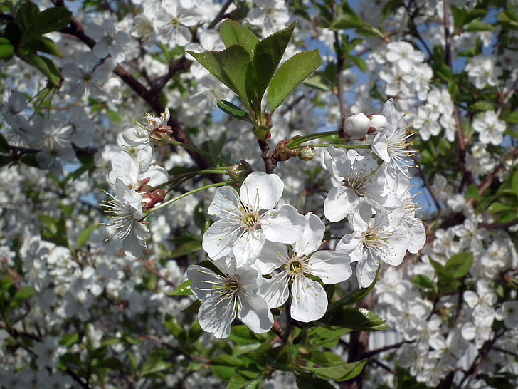 white cherry blossoms blooming at daytime