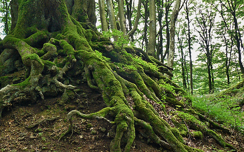 moss covering tree roots inside forest during twilight