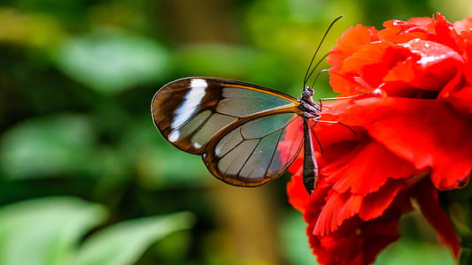 selective focus photography of glasswing butterfly on red flower