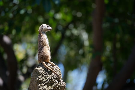 meerkat, animal, mammal, rock, upright, africa