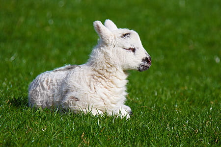 white lamb laying on grass