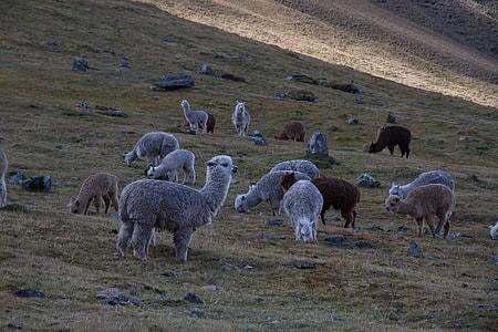 herd of alpaca on grass field during daytime