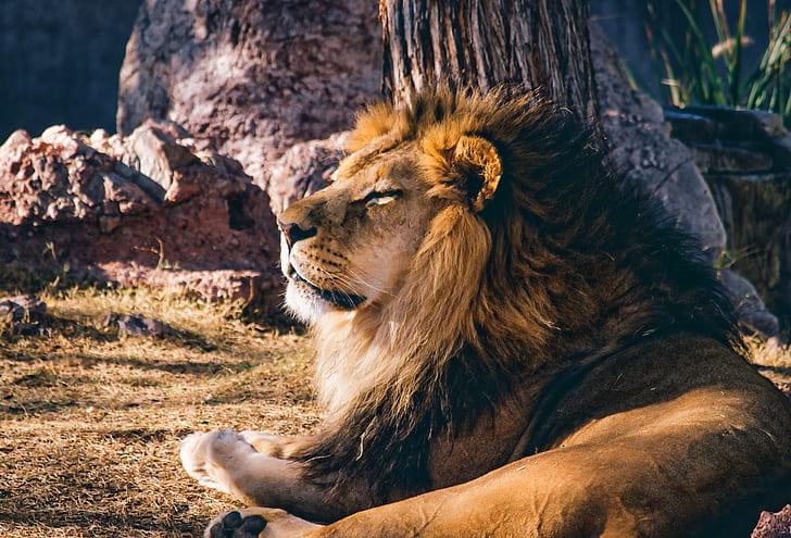 wildlife photography of lion