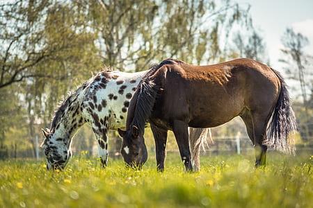 brown and white horses