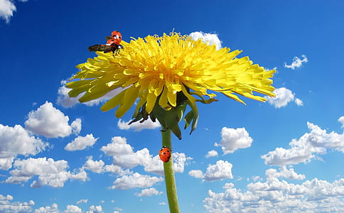 red ladybug on yellow petaled flower under cloudy blue sky during daytime