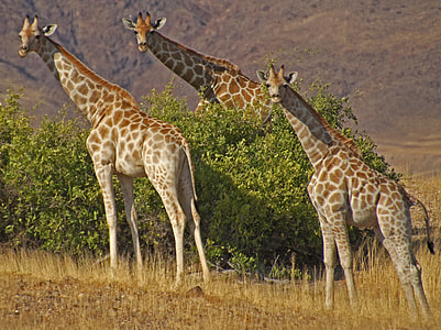 three adult giraffes near green tree