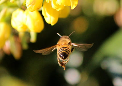 close-up photography of honeybee flying near yellow petaled flowers