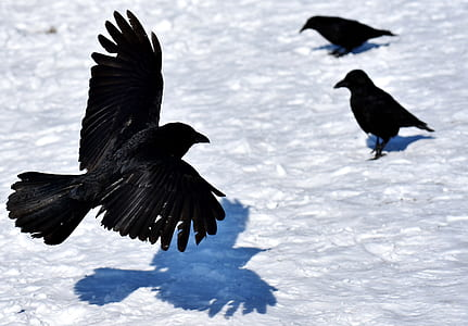three crows during daytime