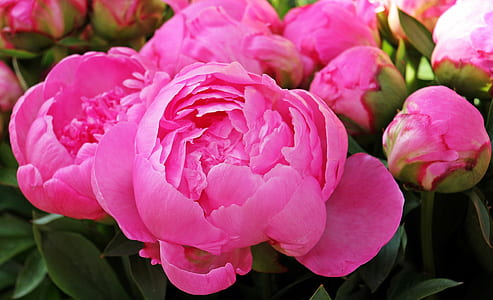 pink peony flowers blooming at daytime