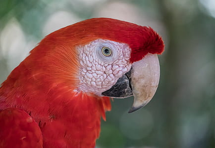 shallow focus photo of red Macaw parrot