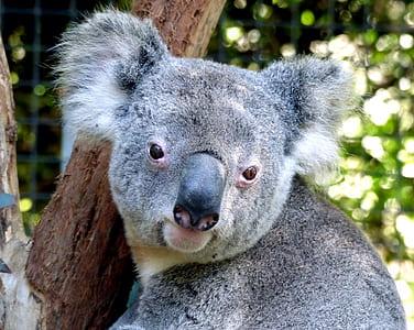 koala on tree trunk