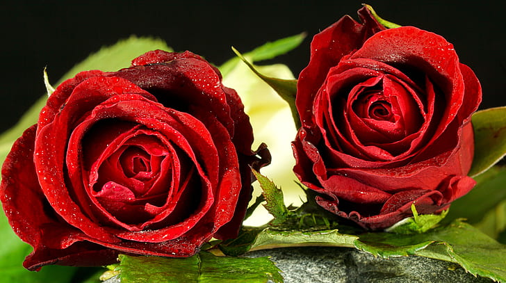 selective focus photography of two red roses