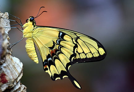 dovetail, papilio machaon, butterfly, close, insect, butterflies