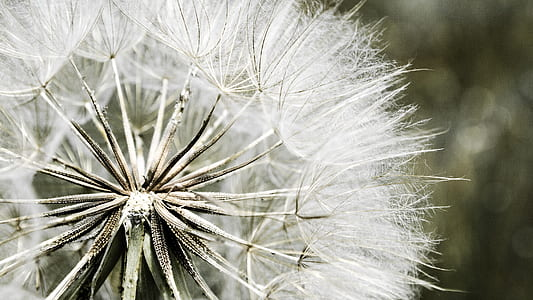 white dandelion flower close-up photo