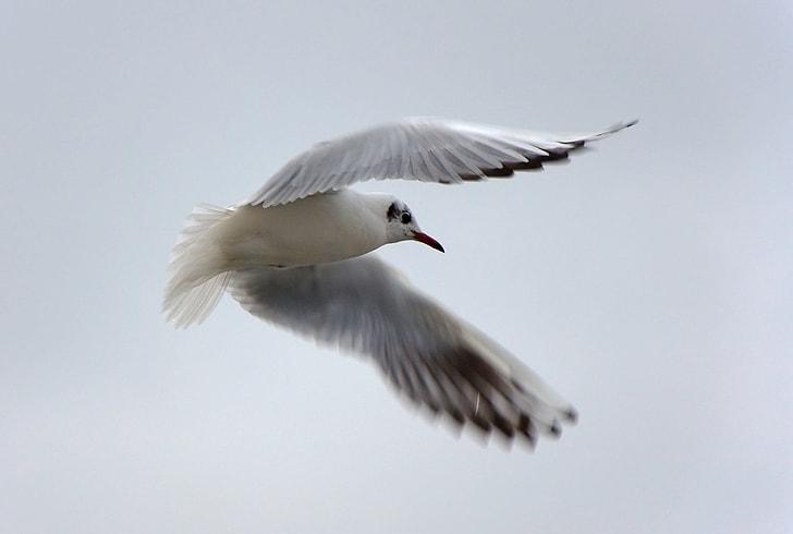 white flying red-billed gull