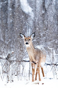 brown doe covered with snow