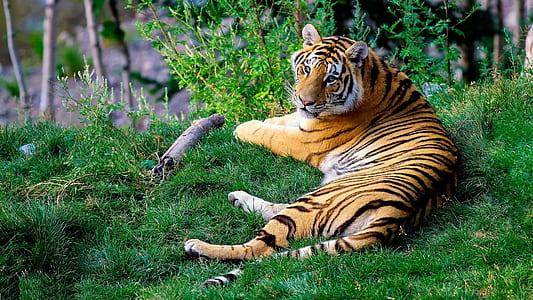 laying tiger on grass at daytime