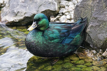 green and blue duck on body of water