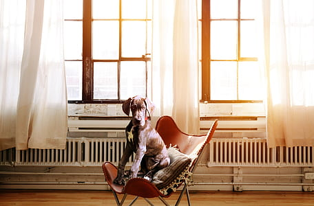 adult tan great dane sits on brown leather chair near window during daytime