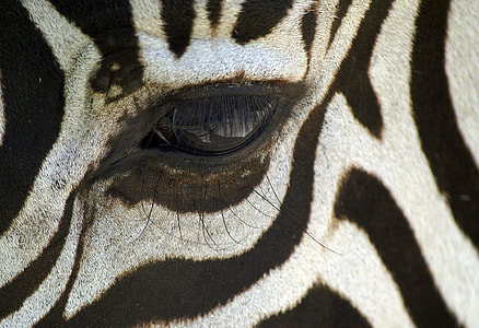 close-up shot of zebra