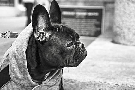 grayscale photography of adult black Pug