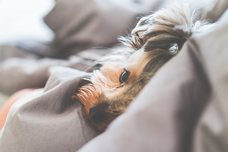 Close Up of Cute and Calm Yorkshire Terrier Dog Lying in a Bed
