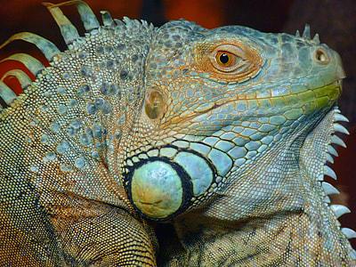 gray and brown iguana head