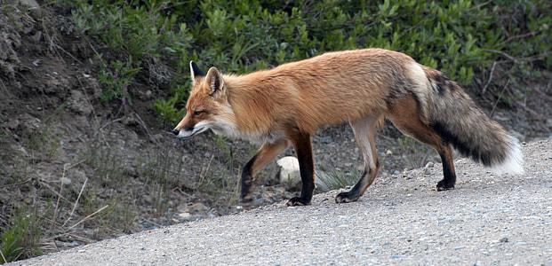 Fox on road beside grass