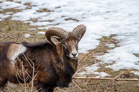 brown ram during winter